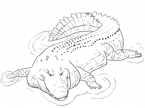 Alligator Coloring Pages Kids