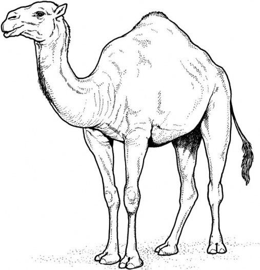 Camel Coloring Pages to Print