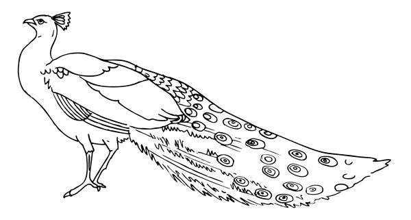 Peacock Coloring Pages Free Printable