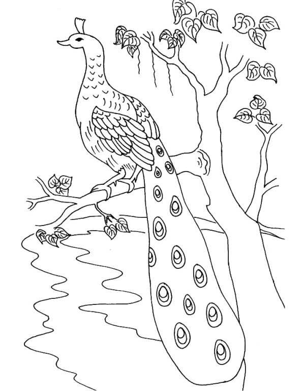 Realistic Peacock Coloring Sheets Free