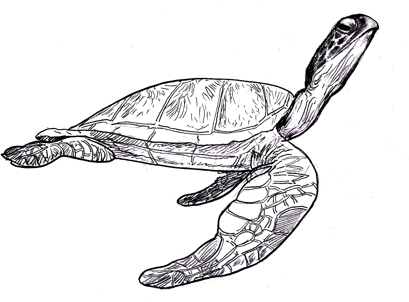 Line Drawing Sea Turtle : Sea turtle coloring pages coloringpages